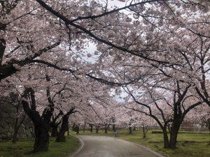 🌸sakura~sakura~今咲き誇る~🌸